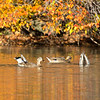 Mallards in autumn colors