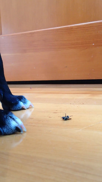 Poppy finishes off an already injured fly
