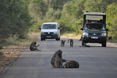 Kruger Park Monkeys