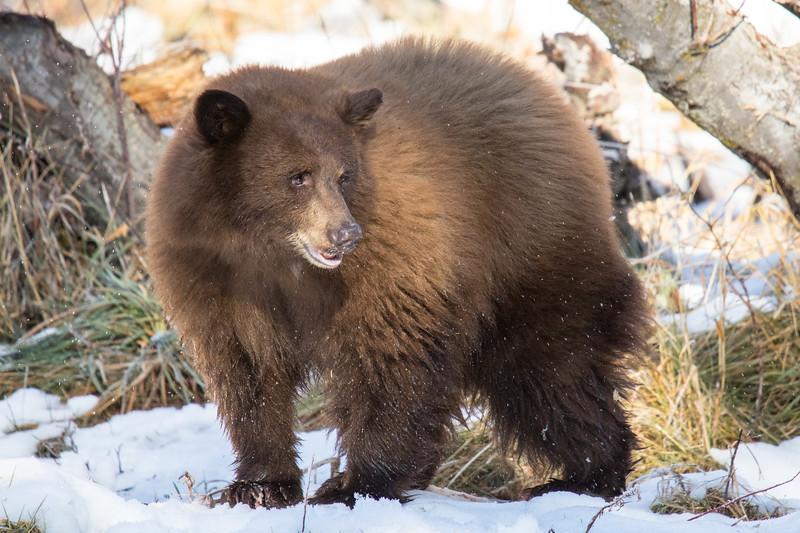 Tahoe Bear Fall 2020-15.jpg