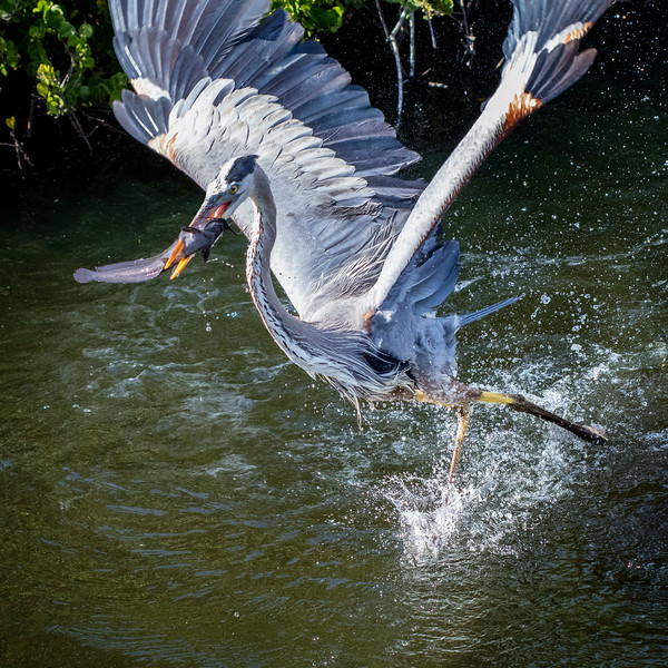 Great Blue with Catfish on takeoff_IMG_1053.jpg