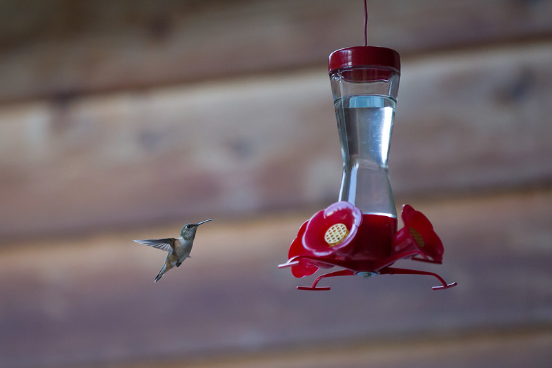 humming bird (44 of 55).jpg