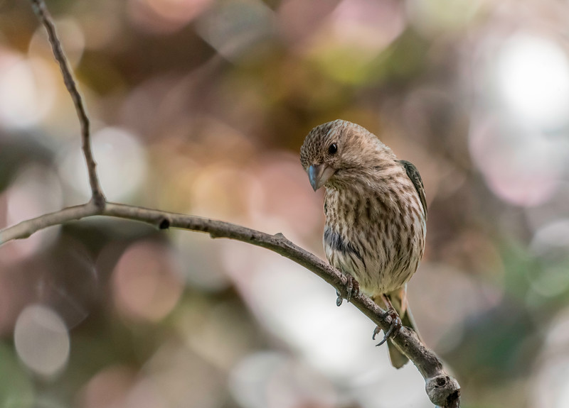 House Finch on a Branch.jpg