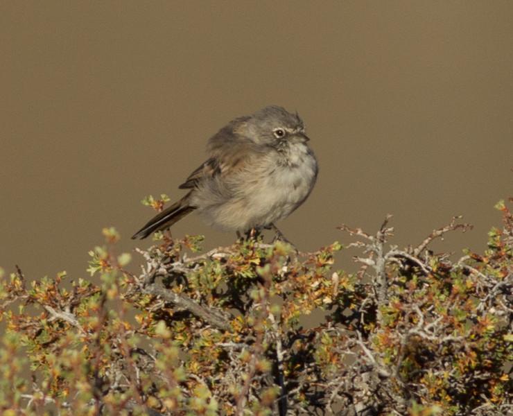 Sagebrush Sparrow  Grant Lake 2012 07 28 (1 of 3).CR2-2.CR2