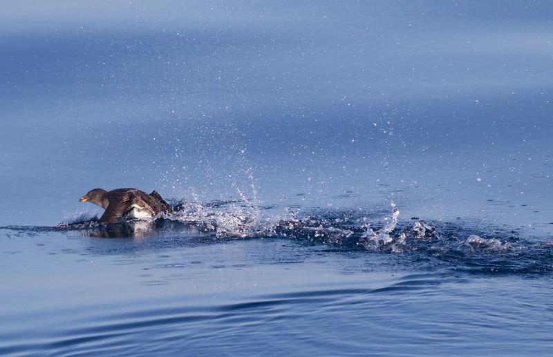 Rhinoserous Auklet   Orange County Waters  2014 01 11-1668.CR2
