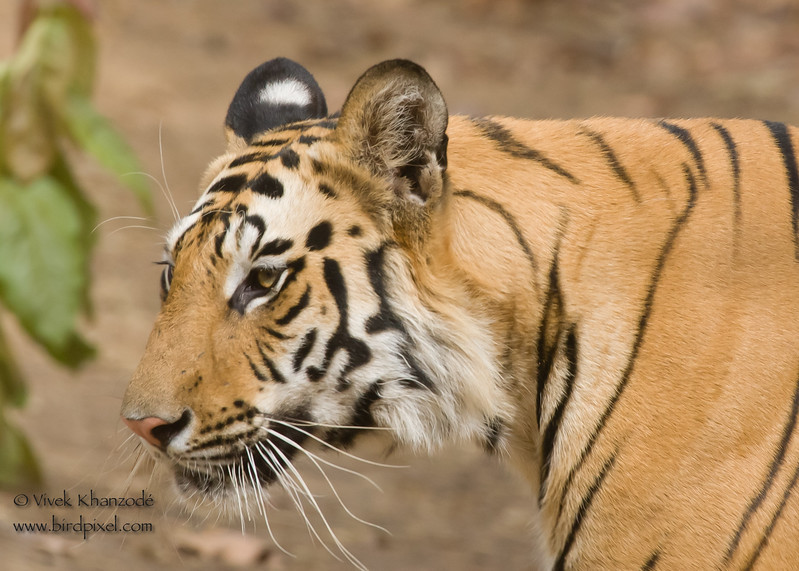 Royal Bengal Tiger - Bandhavgarh National Park, Madhya Pradesh, India