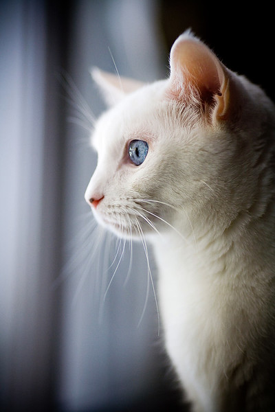 Blue-eyed white cat