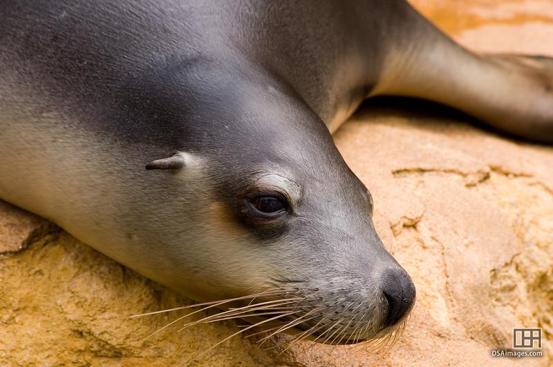 Warm day by the pool  Australian Sea-Lion (Neophoca cinerea)