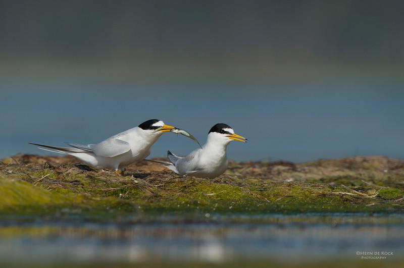 Little Tern, Lake Wolumboola, NSW, Aus, Nov 2013-1.jpg