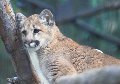 New Juvenile Cougar @ San Diego Zoo 2/14/2007