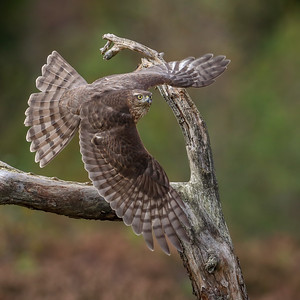 Spurvhauk  -  Sparrow Hawk
