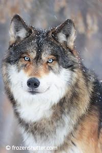 Wolf Gallery