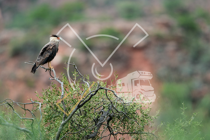 A southern crested caracara in the ToroToro National Park in Bolivia.