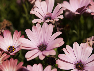 Osteospermum - Serenity Pink Magic