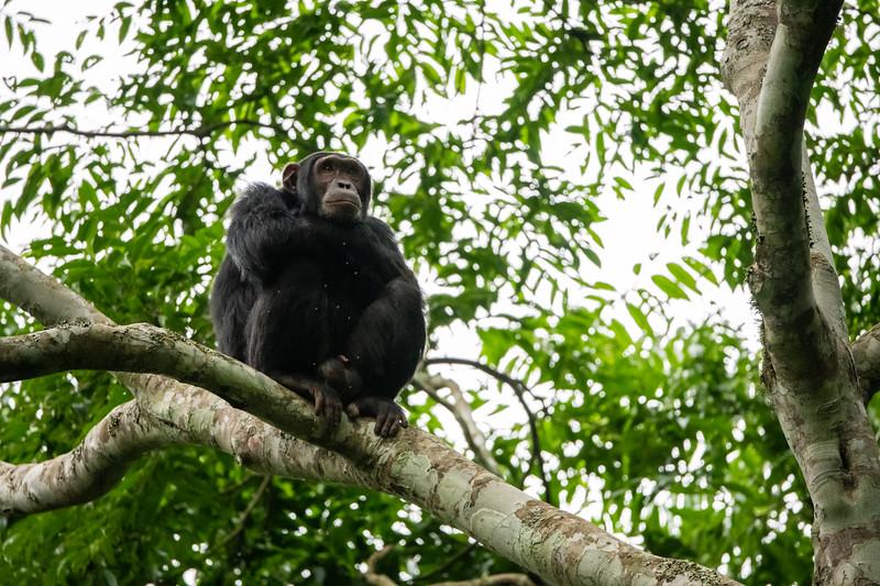 Uganda_T_Chimps-970.jpg