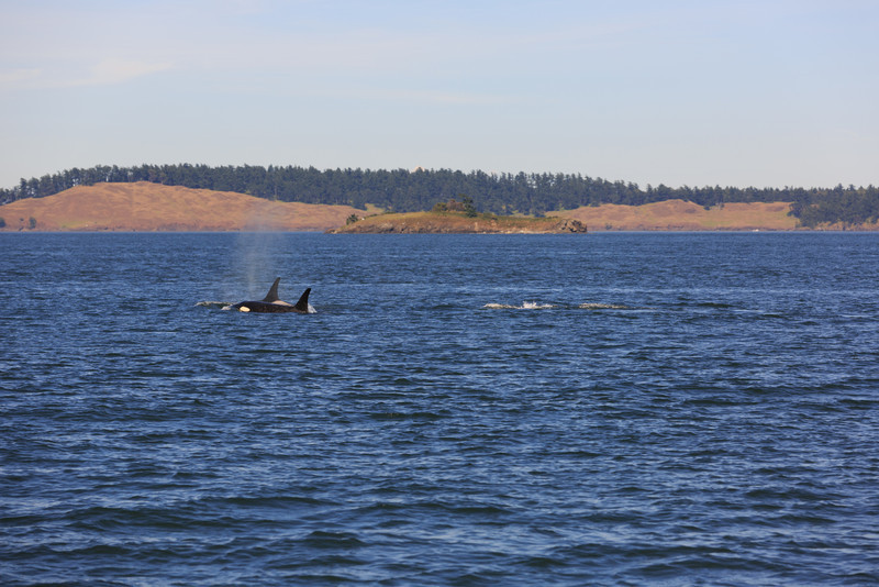 2013_06_04 Orcas Whale Watching 469.jpg