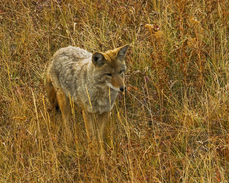 Coyote, Blacktail Plateau 3.jpg