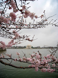 Cherry Blossoms 2009