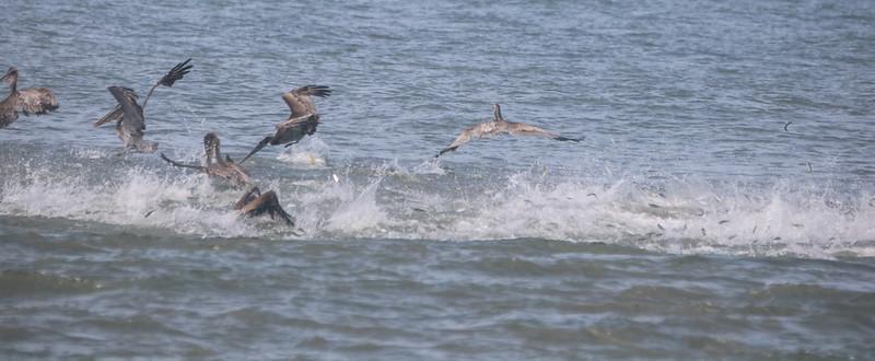 Pelicans in a feeding frenzy in the ocean