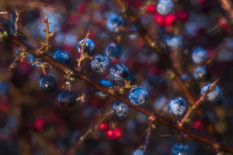 Sloes plus Hawthorns 4184-Edit-3.jpg