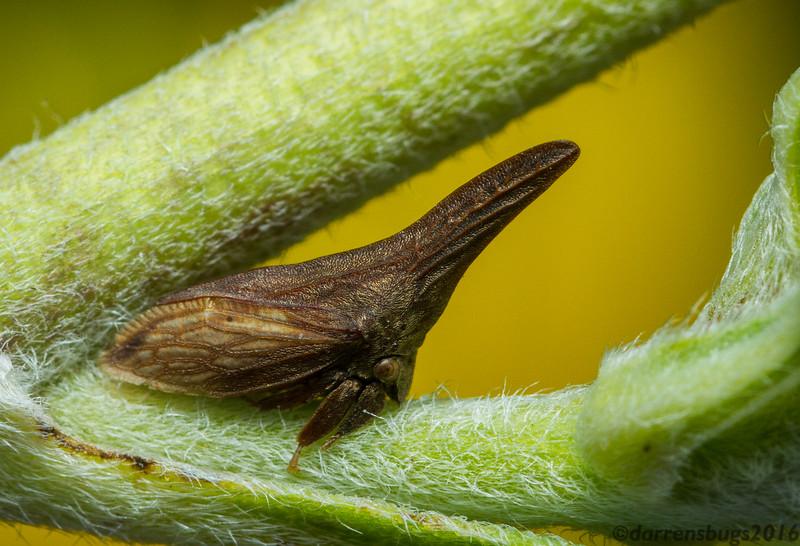Widefooted Treehopper, Campylenchia latipes (Iowa, USA).