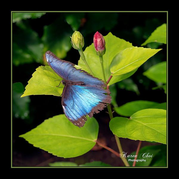 sm Blue Butterfly.jpg