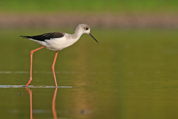 Black-winged-stilt - תמירון