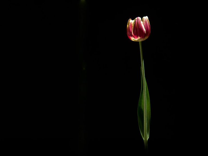 Tulip-screen-save--2-3.jpg