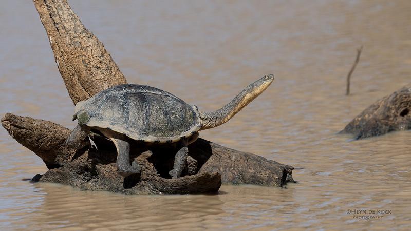Eastern Snake-necked Turtle, Bowra, Cunnamulla, QLD, Aus, Sept 2017-1.jpg
