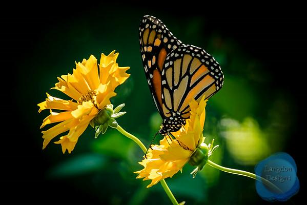 Butterflies (Summer 2014)