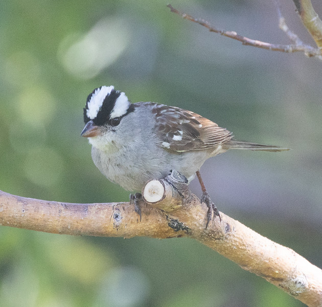 White-crowned Sparrow (Oreantha) Mammoth Lakes 2021 06 23-4.CR3