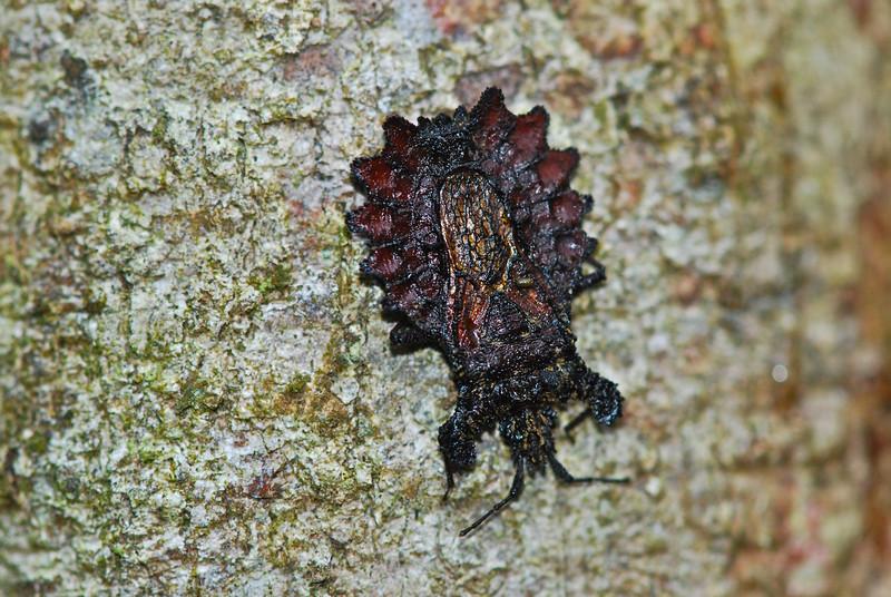 Flat bug, (Aradidae) by A.K. Guyana 2011