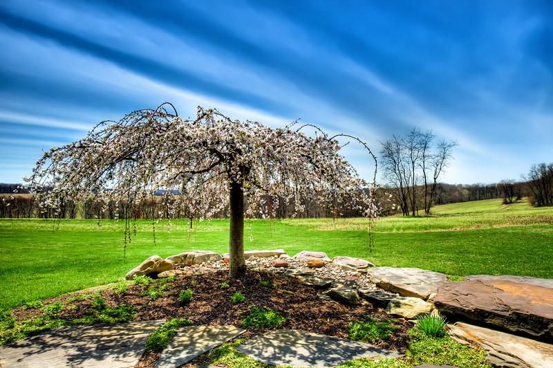 Lone Cherry Tree