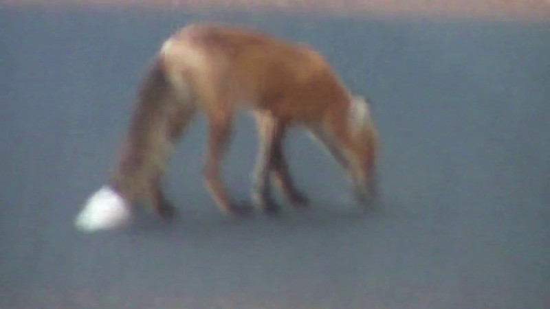 Fox in Yellowstone 2010