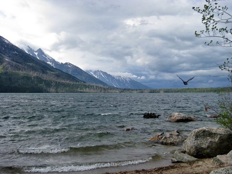 Raven troubling to fly straight on a cold windy day at Jenny Lake