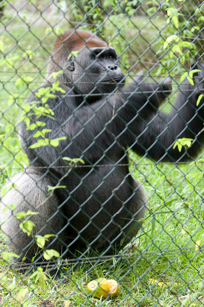 Some papayas were tossed into the enclosure.  The silverback came up and caught them like footballs, ate a bit, and then left the rest for the other two gorillas.
