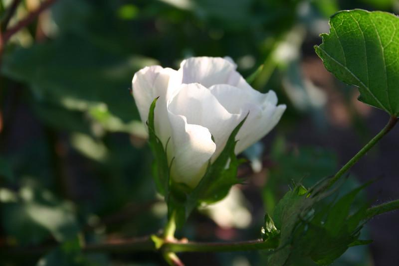 Cotton flower 7