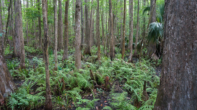 In the cypress swamp
