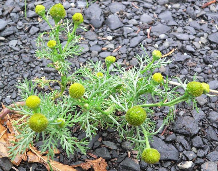 pineapple weed1.jpg