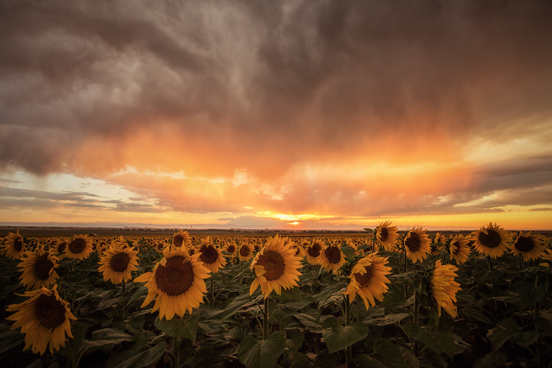 Sunflower Sunset 4.jpg