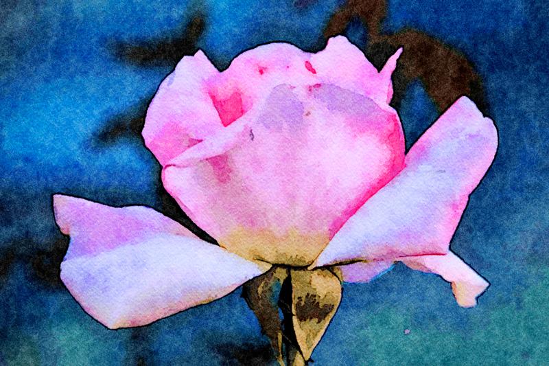 January 11 - Painted rose.jpg