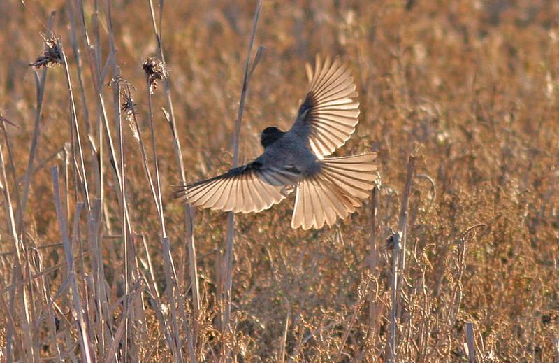 IMG_1135_thistlebirdwingspread50%cropedited-1_edited-1.psd