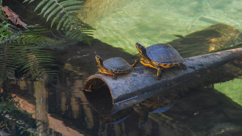 Turtles sunning in the spring on a pipe