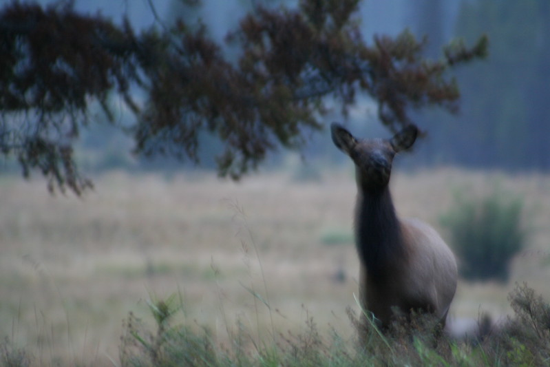 20080911-05 - Rocky Mountain NP - 02 (Fuzzy) Elk.JPG