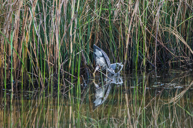 Night Heron Splash 1 082717-1.jpg