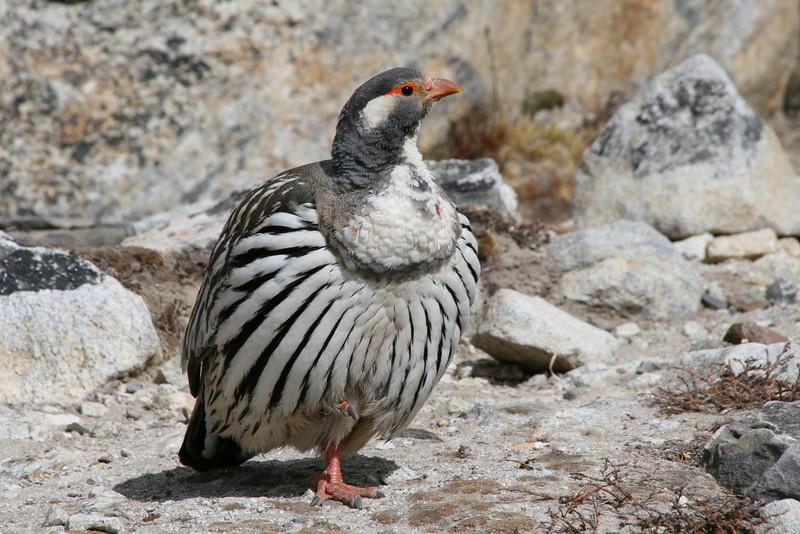 Another Himalayan Snowcock