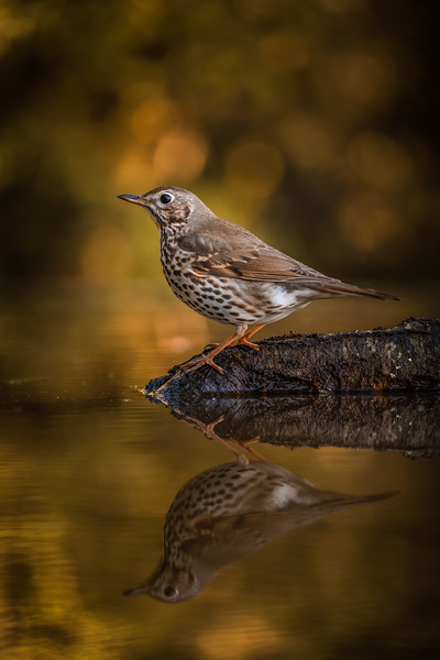 Song Thrush reflected 160214