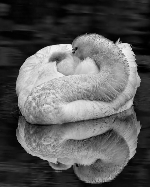 Swan and Cygnets in B/W