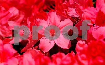 3/11/13 Spring Splendor Preview - Azalea & Spring Flower Trail 2013 Begins Friday 3/15/13 by Multiple Photographers