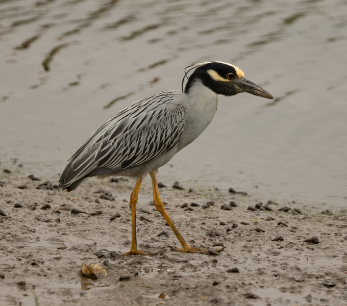 Yellow-crowned Night-Heron Formosa Slough 2017 06 07-1.CR2